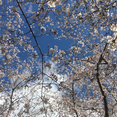 桜 満開 2020春 お花見