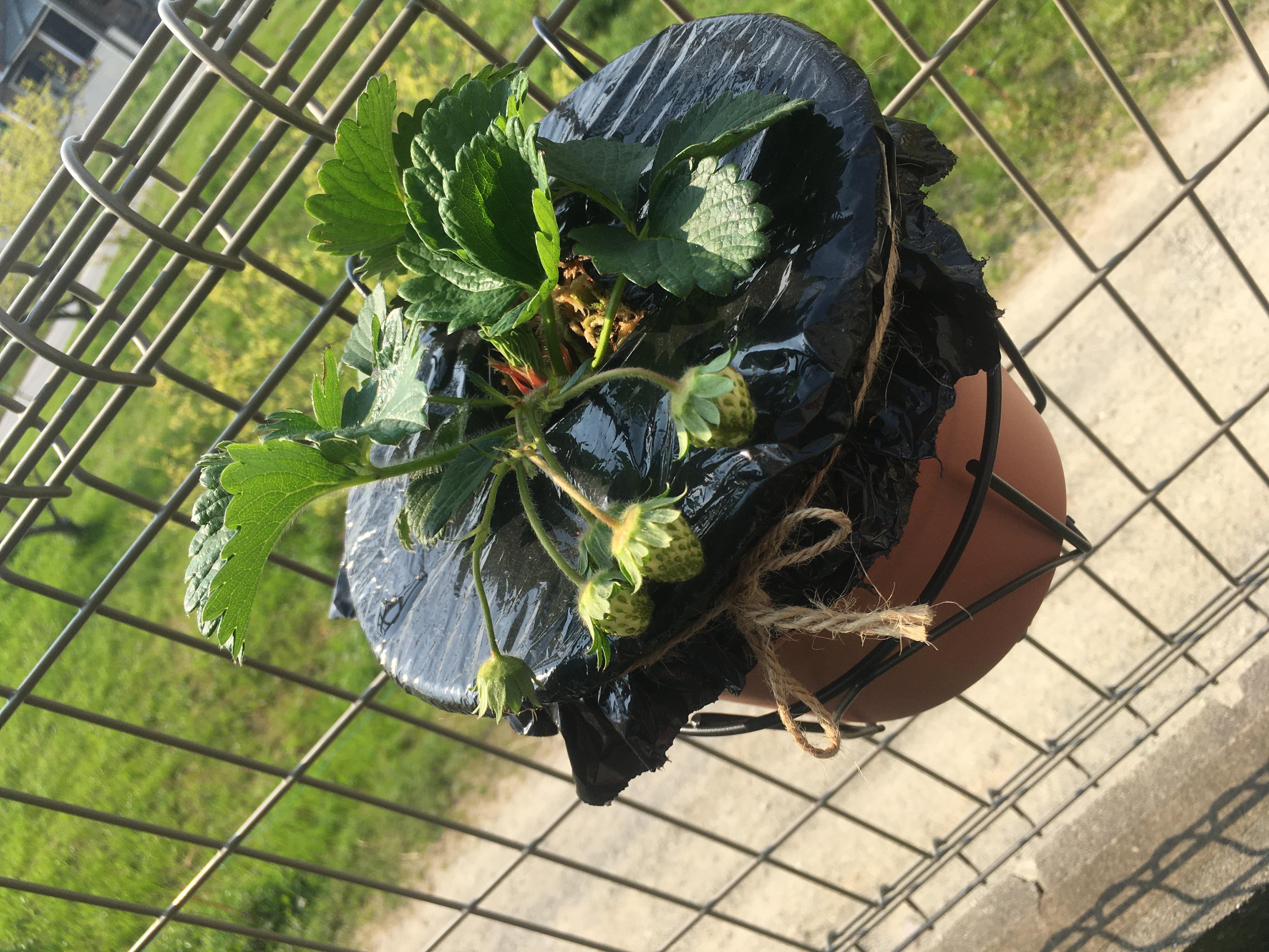 家庭菜園 いちご栽培 プランター 苺